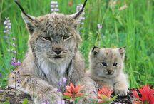 Lynx / Cat