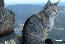 Chinese mountain cat / Cat