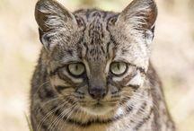 Geoffraoy cat / Cat