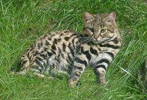 Black footed cat /  Cat