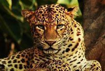 leopard / Cat