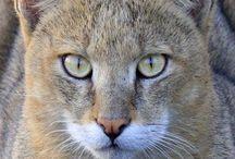 Jungle cat / Cat