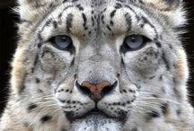 Borneo/ sunda clouded leopard / Cat