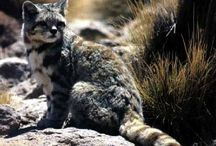 Andean mountain cat / Cat