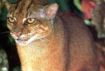 Bornean bay cat / Cat