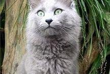 Nebelung / Cat
