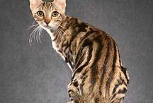 Sokoke / Cat