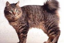 bobtail / Cat