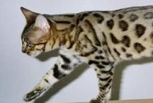 California spangled / Cat