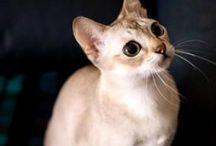 Singapura / Cat