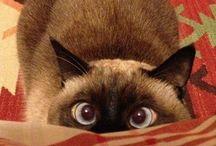 Siamese / Cat