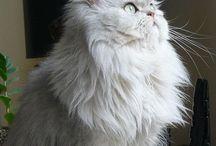 Persian / Cat