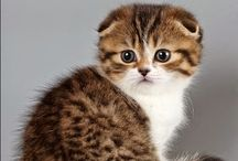 Scottish fold / Cat