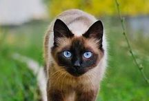 Tonknese / Cat