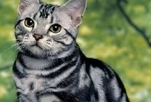 Shorthair / Cat