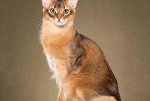 Somalli / Cat