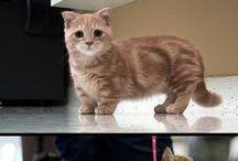 Munchkin / Cat