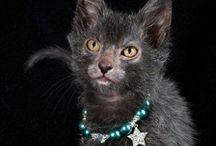 Lykoi / Cat