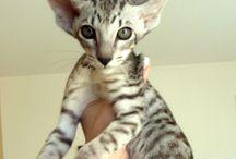 Oriental shorthair / Cat