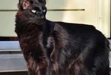 Oriental longhair / Cat