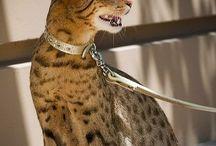 Ashera / Cat