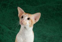 Amikoshi / Cat