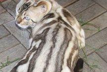 Leopardett