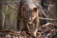 Madagascan Fossa / Pics I saw while researching this unique creature for my next book Second Nature ~~Sneak Peak Info~~ which is set in Madagascar and the safari lands of South Africa. Can't wait to share!!