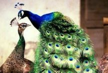Beautiful Peacocks / Another of nature's finest work of art!  / by G. A. Odell