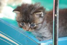 Kittens cats / Noorse boskat ragdoll kittens
