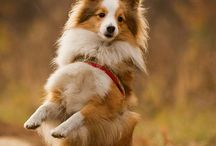 Shetland Sheep Dogs & Dogs