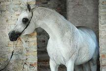 Arabian stallions~pure polish/polish related / Arabian stallions~pure polish/polish related