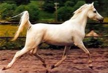 Arabians (videos)