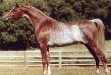 Arabians w. unusual colours/markings / Arabians with unusual colours & markings
