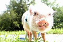 Living With a Pet Mini Pig / Follow as we settle in with our first pet mini pig, Oscar. From bringing him home for the first time to potty training to squealing to cuddles, we'll include the good and the bad as we experience them.
