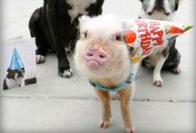 Mini Pig Joy / The everyday joys of living with our pet mini pig, Oscar. See him play in his ball pit, enjoy belly rubs in the sunshine, try on new hats, eat popcorn, and more.
