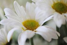 Flowers, Daisy shaped.