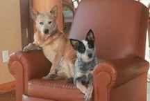 DOGS--Heelers / by Lynn LaGrone
