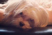 Marius / Marius, my #maltese #dog #bichon