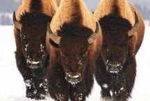 Mighty Buffs / Buffalo in the wild and buffalo art.
