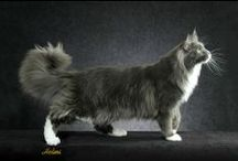 Maine Coon - Blue Solid & White / #MaineCoon #Blue #Solid #White #Cats