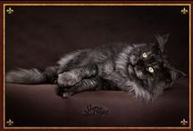 Maine Coon - Black Smoke / #Mainecoon #solid #BlackSmoke #Cats