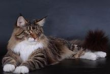 Maine Coon - Black Tabby Blotched & White / #MaineCoon #Black #Tabby #Blotched #White #Cats