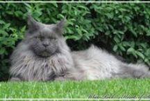 Maine Coon - Blue Smoke / #MaineCoon #BlueSmoke #Cats