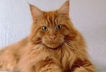 Maine Coon - Red Solid / #Mainecoon #RedSolid #cats