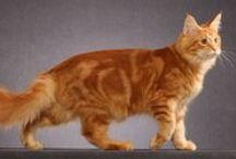 Maine Coon - Red  Tabby Blotched / #MaineCoon #Red #Tabby #Blotched #ClassicTabby #Cats