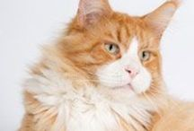 Maine Coon - Red Solid & White / #MaineCoon #RedSolid&White #Cats