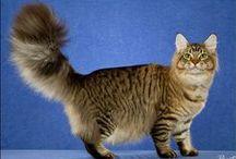 Maine Coon - Black Tabby Mackerel / #MaineCoon #Black #Tabby #Mackerel #Cats