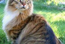 Maine Coon - Black Tabby Mackerel & White / #MaineCoon #Black #Tabby #Mackerel #White #Cats