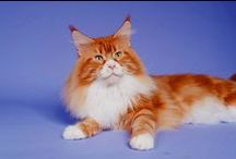 Maine Coon - Red Tabby Blotched & White / #MaineCoon #Red #Tabby #Blotched #White #Cats
